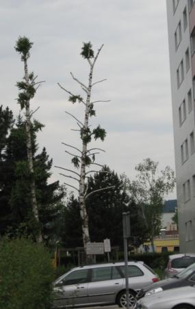 Birke Kappung unsachgemäßer Baumschnitt
